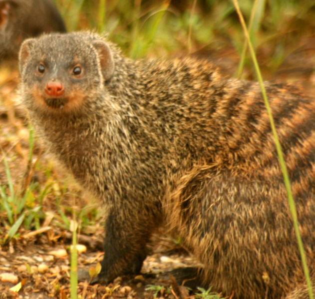 Gef The Talking Mongoose