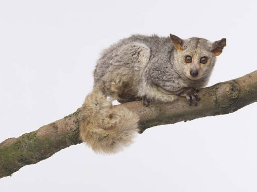 Bush Baby Facts For Kids