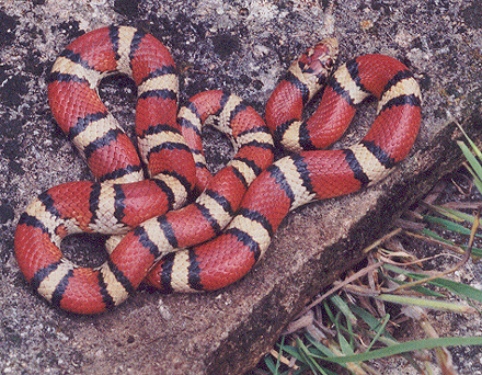 Mexican Milk Snake - Ground Reptiles