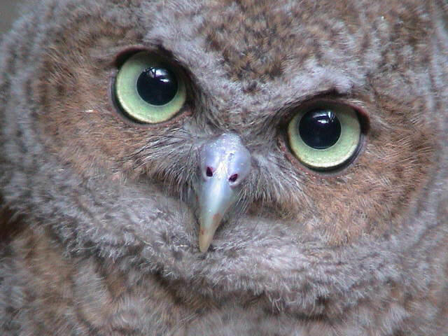 Screech owl image search results