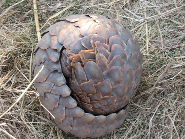 Pangolin rolled up, defending itself