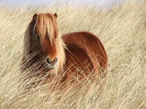 A Shetland Pony in long grass