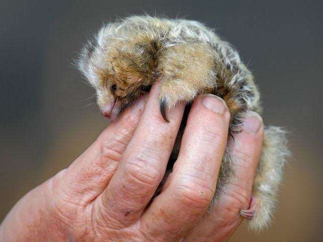 Young Pygmy Anteaters are very tiny, but they already have their claws