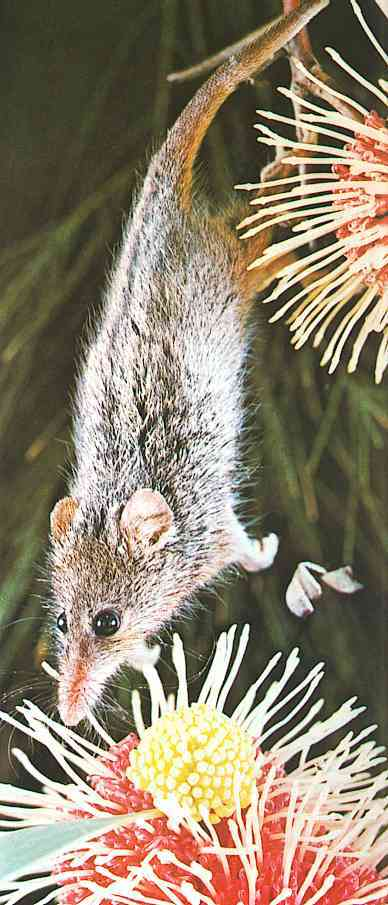 Honey Possum hanging in its tail to reach a flower
