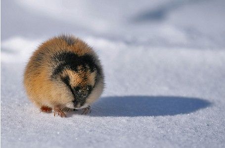 Norwegian Lemming on the snow