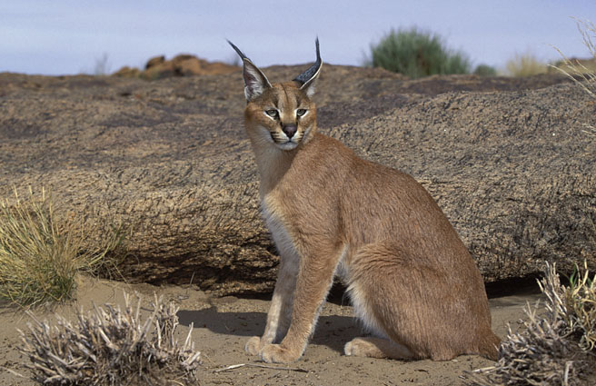 Caracals have distinctive black fur growing from the tip of their ears