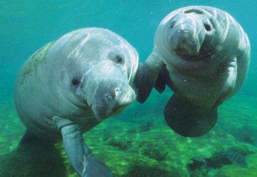 A female manatee and her almost mature offspring