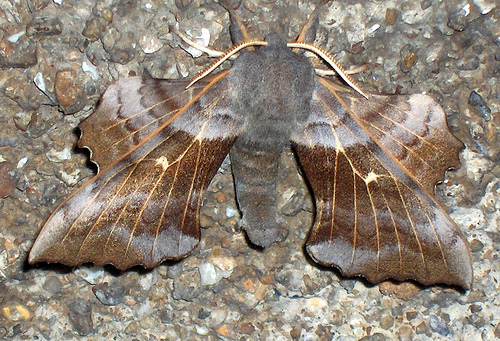 The camouflage makes these moths incredibly hard to spot