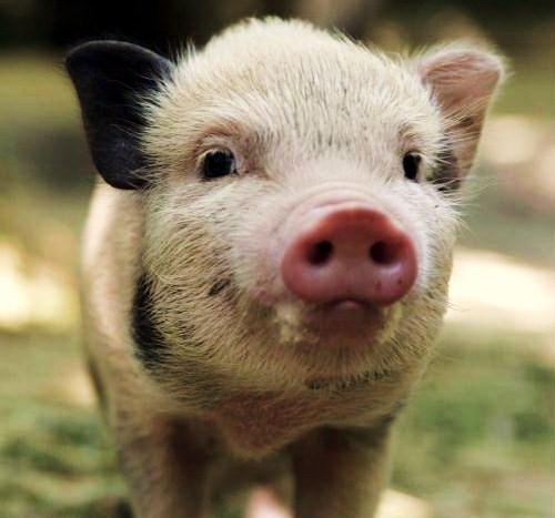 An innocent minature pig