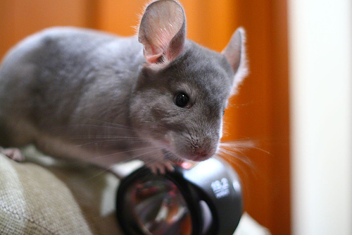 A female pet Chinchilla