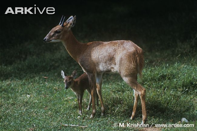 A Four-horned antelope male with his offspring