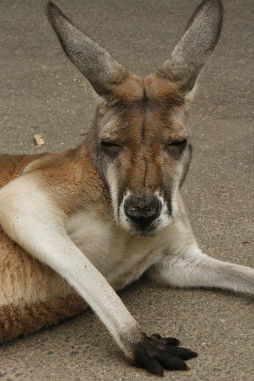 The red kangaroo