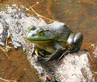 Excellent camouflage allows the Bullfrogs to be almost invisible to other creatures