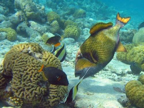 Titan Triggerfish is the 2nd largest triggerfish in the world
