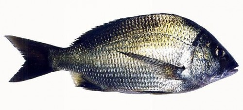 The Southern Black Bream is endemic to Australia