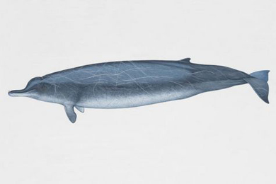 Drawing of an Arnoux's Beaked Whale