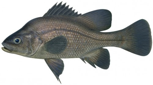 The Macquarie Perch is native to Australia