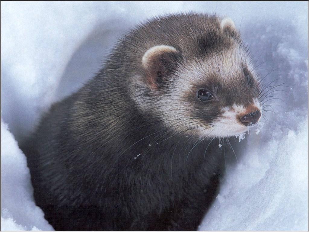 The white spots on the Polecat's face resemble a mask