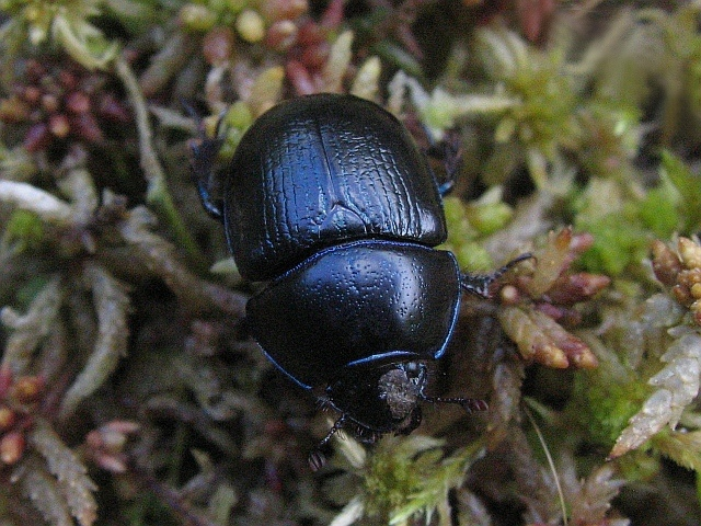 The metallic glow makes Dor Beetles easy to spot
