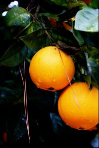 An orange tree