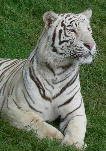 A majestic white tiger!