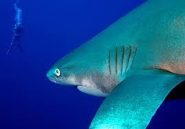 The Bigeye thresher shark