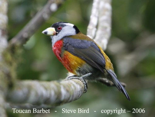 The Toucan Barbet was previously classified as just a Barbet... not a Toucan