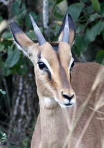 The Impala is an antelope