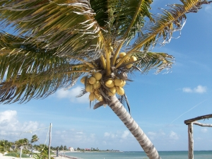 A coconut tree in Costa Maya