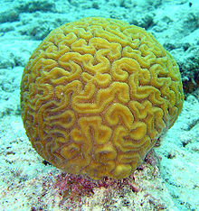 Brain coral is made of calcium carbonate