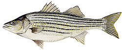 Striped bass have horizontal stripes