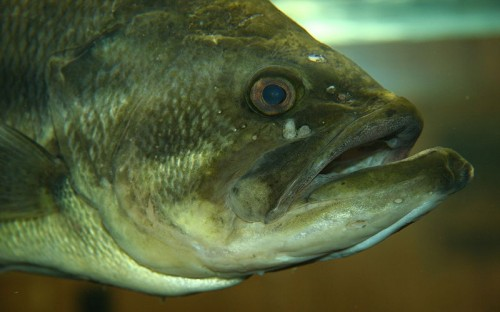 The face of the largemouth bass