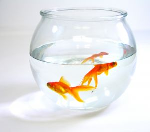 Goldfish in a household aquarium