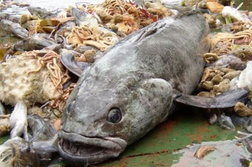 An Antarctic Toothfish