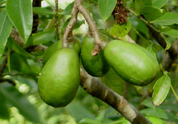Ambrellas are also known as the Malay Apple