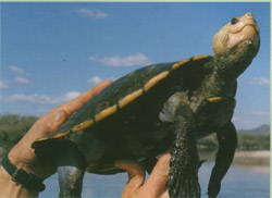 Irwin's turtle is a rare species
