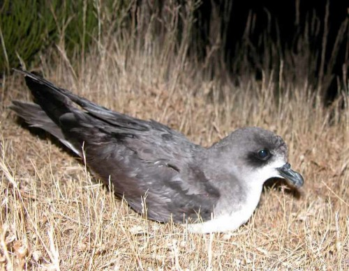 Zino's Petrel is the most endangered bird species in Europe
