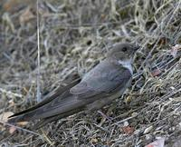 The Eurasian Crag Martin