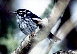 The elusive Elfin-woods Warbler