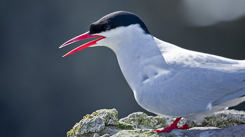 The Arctic Tern is found around the Arctic and Sub-Arctic regions
