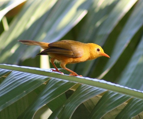 Golden White-Eye on a palm