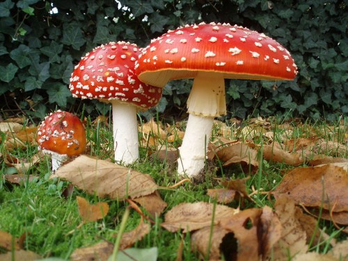 This mushroom is known to be potentially poisonous