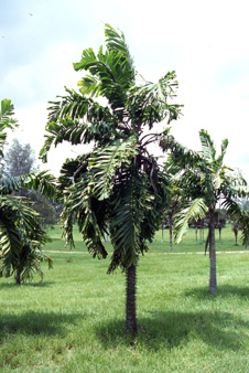 A tree from the genus Aiphanes