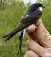 The Delichon urbicum or Common House Martin