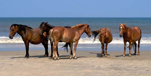 Free and wild horses of North Carolina