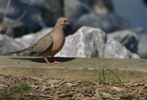 The Mourning Dove is a very popular gamebird