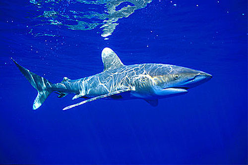 The Oceanic white tip shark is deadly