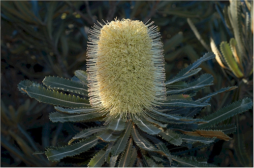 The Wallum Banksia is native to Australia