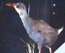 The Zapata Rail is endemic to Cuba