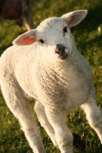 A cute little lamb